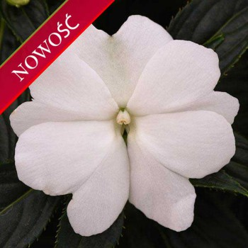 Niecierpek Nowogwinejski (Impatiens New Guinea) - ClockWork - White Green Leaved
