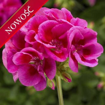 Pelargonia ogrodowa stojąca (Pelargonium zonale) - Caliope - Lavender Splash