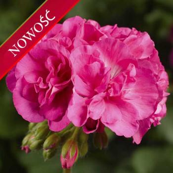 Pelargonia ogrodowa stojąca (Pelargonium zonale) - Caliope - Pink