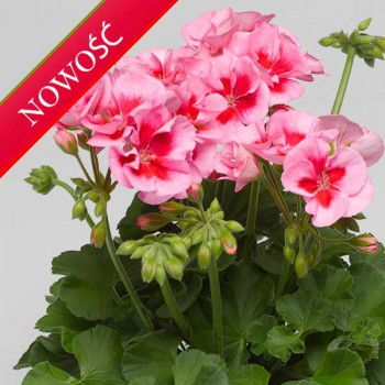 Pelargonia ogrodowa stojąca (Pelargonium zonale) - Caliope - Rose Splash