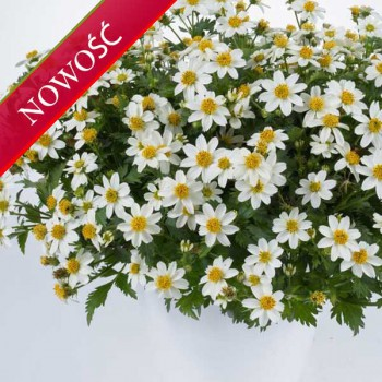 Uczep złocisty (Bidens ferulifolia) - Timeless - White Delight