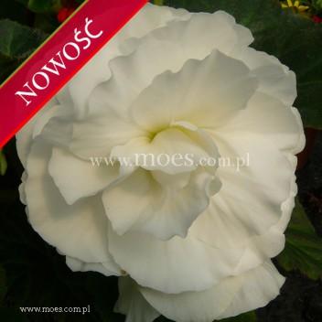 Begonia bulwiasta (Begonia tuberhybrida) - TipTop - White