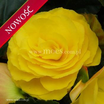 Begonia bulwiasta (Begonia tuberhybrida) - TipTop - Yellow Improved