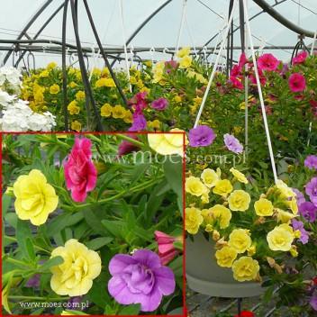 Calibrachoa (Calibrachoa x hybrida) - Trixi - Petticoat