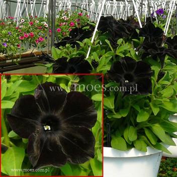 Petunia (Petunia) - Ray - Black
