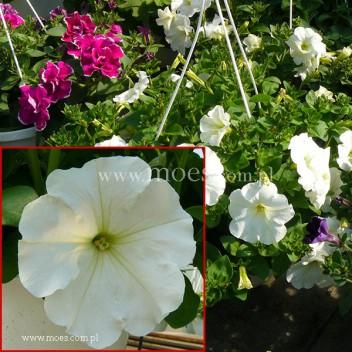 Petunia (Petunia) - Ray - White