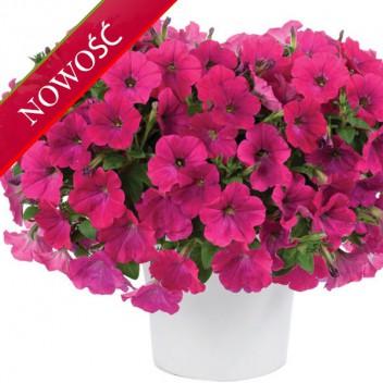 Petunia (Petunia) - Capella - Neon Pink