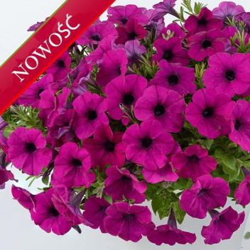 Petunia (Petunia) - Cascadias - Passion