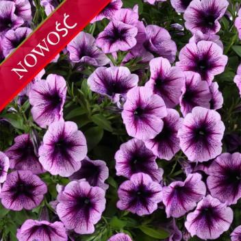 Petunia (Petunia) - Cascadias - Purple Ice