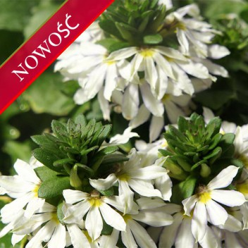 Scewola (Scaevola aemula) - Farol - White