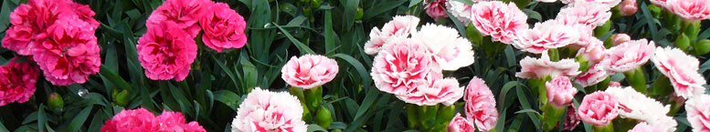 Goździk ogrodowy <br>(Dianthus caryophyllus)