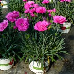 Goździk ogrodowy (Dianthus caryophyllus) - Diantica - Orchid