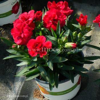 Goździk ogrodowy (Dianthus caryophyllus) - Oscar- Cherry