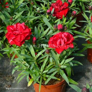 Goździk ogrodowy (Dianthus caryophyllus) - SuperTrouper - Valentine