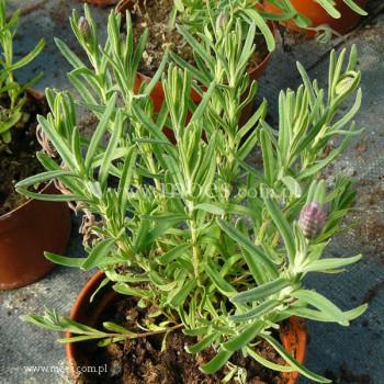 Lawenda francuska (Lavandula stoechas) - Javelin Blue