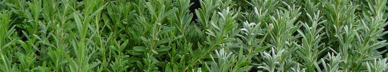 Lawenda wąskolistna <br>(Lavandula angustifolia)