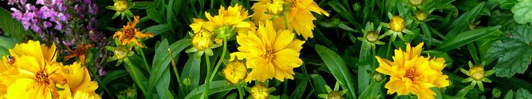 Nachyłek wielkokwiatowy <br>(Coreopsis grandiflora)