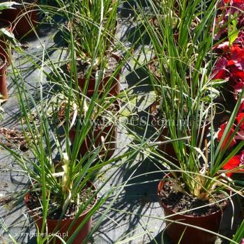 Kortaderia Trawa pampasowa (Cortaderia selloana) - Evita