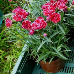 Goździk ogrodowy (Dianthus caryophyllus) - Diantica - Burgundy