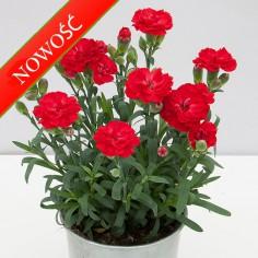 Goździk ogrodowy (Dianthus caryophyllus) - SuperTrouper - Antonio