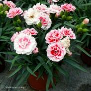 Goździk ogrodowy (Dianthus caryophyllus) - SuperTrouper - Romy