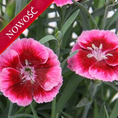 Goździk ogrodowy (Dianthus caryophyllus) - Diantica - Raspberry Cream