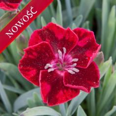 Goździk ogrodowy (Dianthus caryophyllus) - Diantica - Velvet