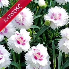 Goździk ogrodowy (Dianthus caryophyllus) - Diantica - White with Eye