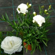 Goździk ogrodowy (Dianthus caryophyllus) - SuperTrouper - Dinach