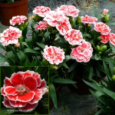 Goździk ogrodowy (Dianthus caryophyllus) - Oscar- White and Red