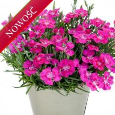 Goździk ogrodowy (Dianthus caryophyllus) - Pillow - Purple