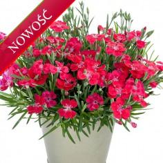 Goździk ogrodowy (Dianthus caryophyllus) - Pillow - Red