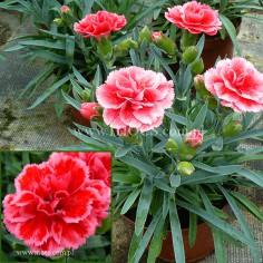 Goździk ogrodowy (Dianthus caryophyllus) - SuperTrouper - Elise