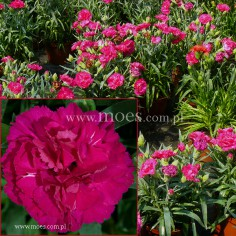 Goździk ogrodowy (Dianthus caryophyllus) - Colores - Beso