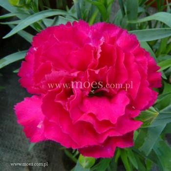 Goździk ogrodowy (Dianthus caryophyllus) - Colores - Beso