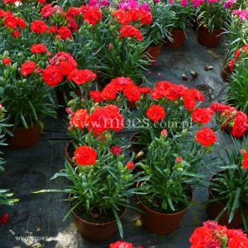 Goździk ogrodowy (Dianthus caryophyllus) - Colores - Amor