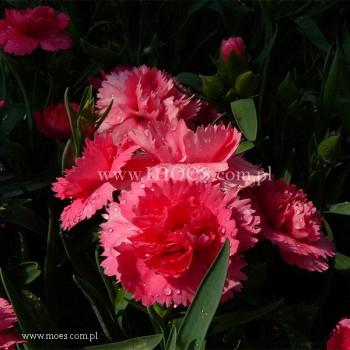 Goździk ogrodowy (Dianthus caryophyllus) - Colores - Dulce
