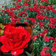 Goździk ogrodowy (Dianthus caryophyllus) - Colores - Sangre