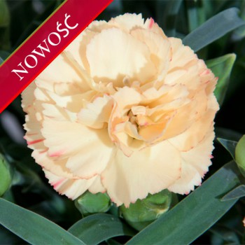 Goździk ogrodowy (Dianthus caryophyllus) - Colores - Nieve