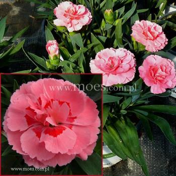 Goździk ogrodowy (Dianthus caryophyllus) - Oscar- Pink