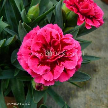 Goździk ogrodowy (Dianthus caryophyllus) - Oscar- Purple Wings