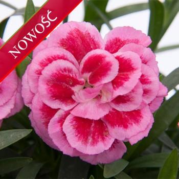 Goździk ogrodowy (Dianthus caryophyllus) - Oscar- Violet and Pink