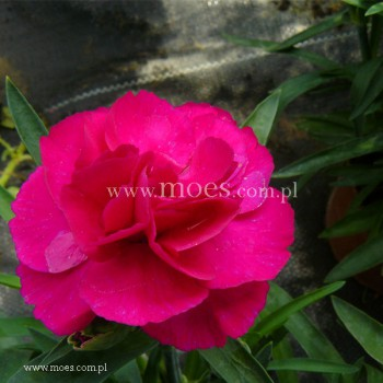 Goździk ogrodowy (Dianthus caryophyllus) - SuperTrouper - Amy