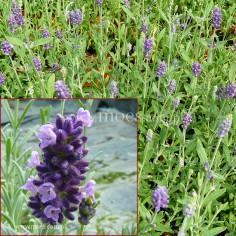 Lawenda wąskolistna (Lavandula angustifolia) - Blue Scent