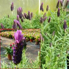Lawenda francuska (Lavandula stoechas) -  Javelin Forte Deep Purple