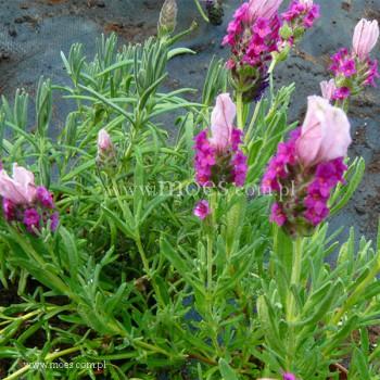 Lawenda francuska (Lavandula stoechas) -  Javelin Forte Deep Rose