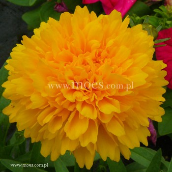 Nachyłek wielkokwiatowy (Coreopsis grandiflora) - Solena Compact