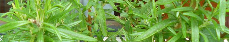 Rozmaryn lekarski <br>(Rosmarinus officinalis)