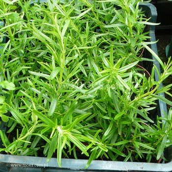 Rozmaryn lekarski (Rosmarinus officinalis) - Abraxas